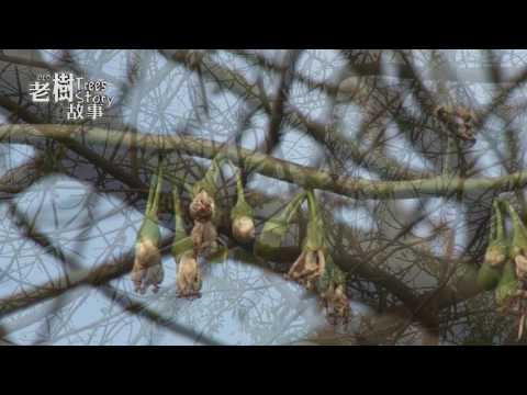 高雄市8棵百年老樹故事-吉貝木棉(影片長度:6分53秒)