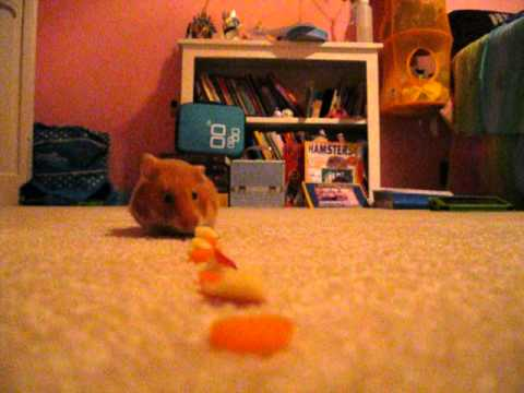 Butterscotch the Hamster Vacuum, The cutest vacuum in the world!
