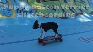 Puppy Boston Terrier Skateboarding