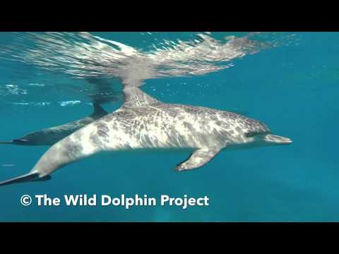 The Wild Dolphin Project: Spotted Dolphins in the Bahamas GoPro Hero3