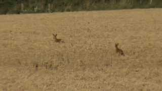 Startled Deer at Harvest Time