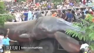 Gusano Gigantesco Aparece En Camboya!