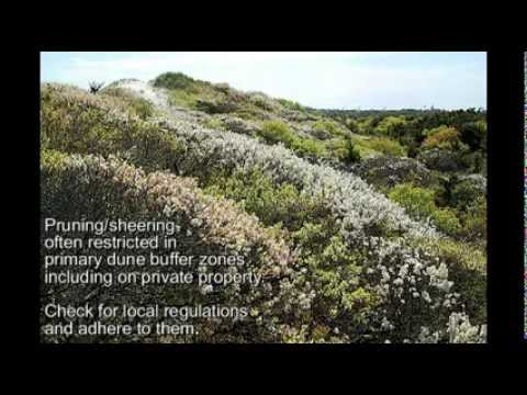 SHRUBS FOR DUNE OCEANFRONT LANDSCAPES & SUMMER BLOOMS - Episode 3 Deer Resistant Plants (DRP) Series