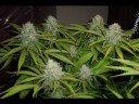Oregon Medical Marijuana Slideshow
