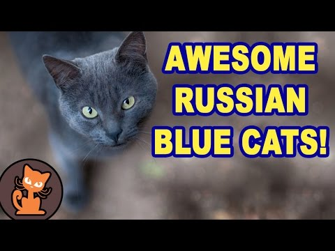 11 Reasons Russian Blue Cats are awesome compilation. Funny, cute, and smart Russian Blue cats!