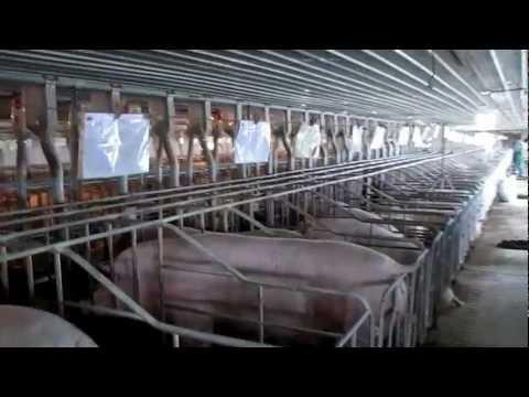 VIDEO NAI - CTY LON GIONG HAT NHAN DABACO