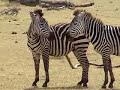 The Zebra Tango