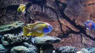 BLUE LUXURY AQUARIUM - Malawi Peacook