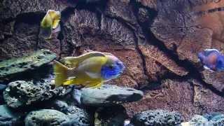 BLUE LUXURY AQUARIUM - Malawi Peacook