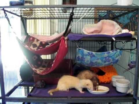 Ferrets Eating Duck Soup In Winterized Ferret Nation Cage