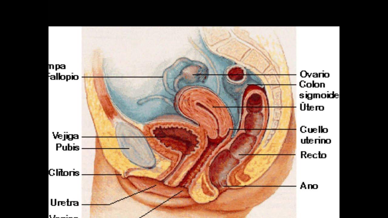 Bonito Diagrama De Sistema Reproductivo Femenino Componente ...
