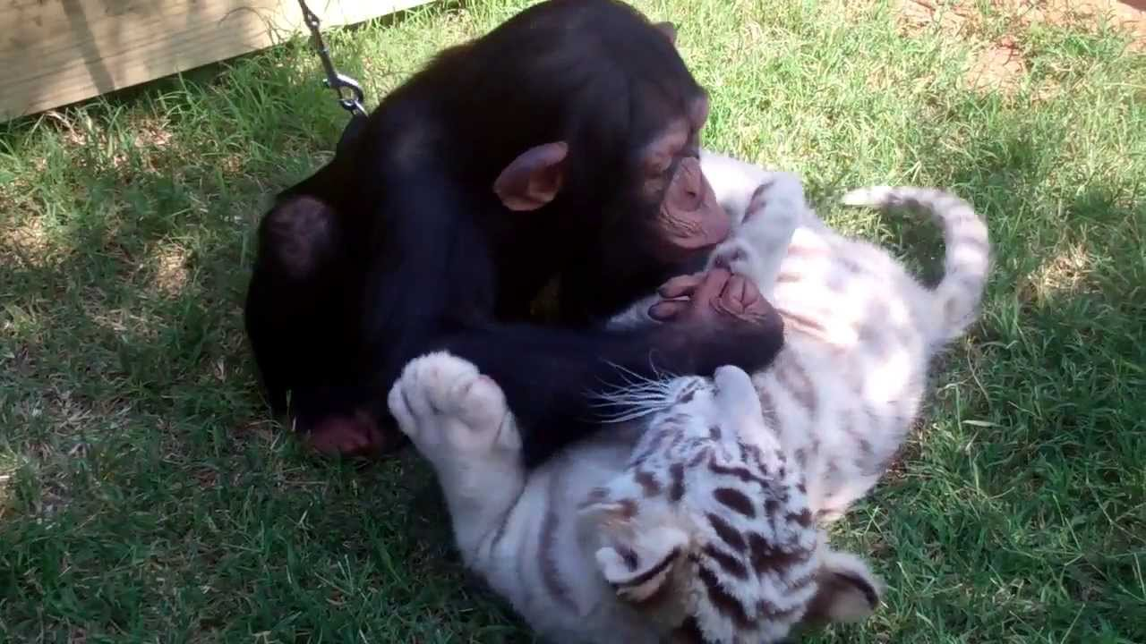 Baby Chimp, Tigers, and Wolf playing - YouTube