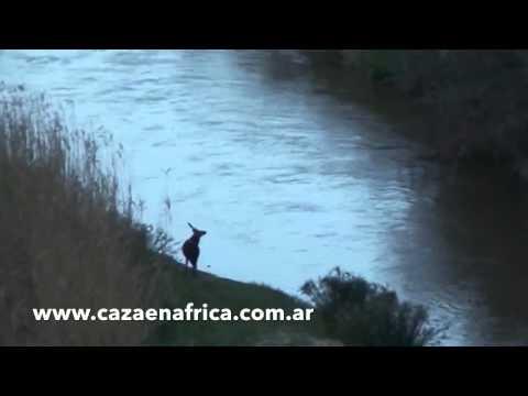 Caza de Bushbuck en Sudáfrica / Bushbuck Hunting in South Africa