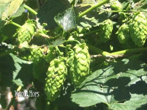 Basics of Home Brewing:  What are hops?  Bittering hops?  Aroma hops?