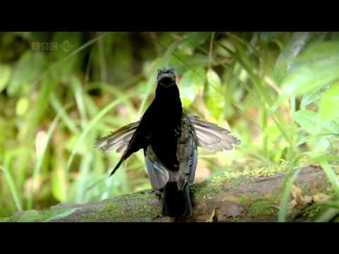Райські птахи. фільм BBC