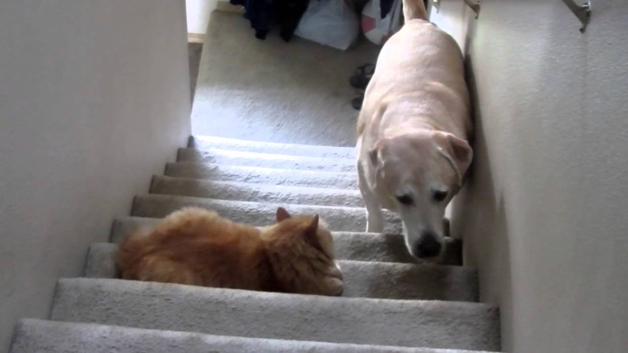 Dogs Afraid Of Cats Stairs