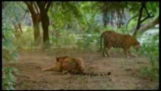 Tiger Fight Awesome