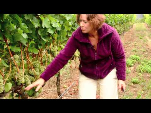 Fruit Maturity Sampling in Wine Grapes - Part 1
