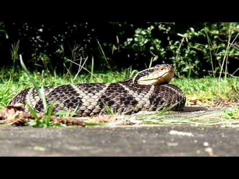 Serpente Jararacuçu (Bothrops jararacussu)