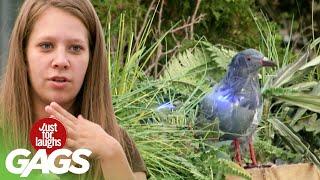 Skrytá kamera - explodujúci holub