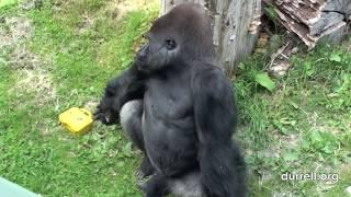 Silverback Gorilla - Andrew Scott-Miller