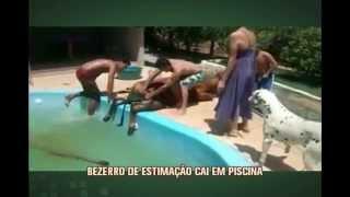 Bezerro de estima��o cai em piscina e d� trabalho para donos