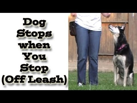 How to train your dog to walk politely on a loose leash
