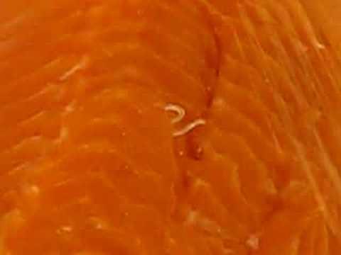 Salmon worm youtube for Raw fish parasites