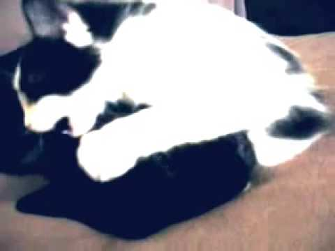 Cat attacks French Bulldog. What Violence! Funny