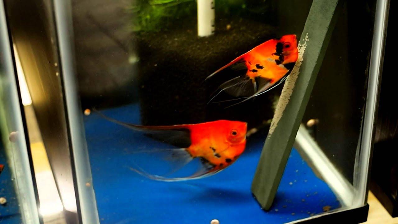 Koi Angelfish Breeding Pair 1044 Youtube