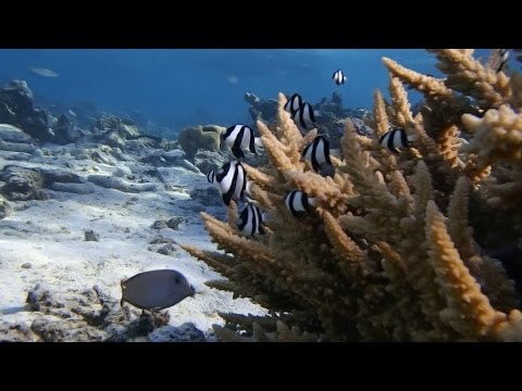 Stanford professor works to save world's coral