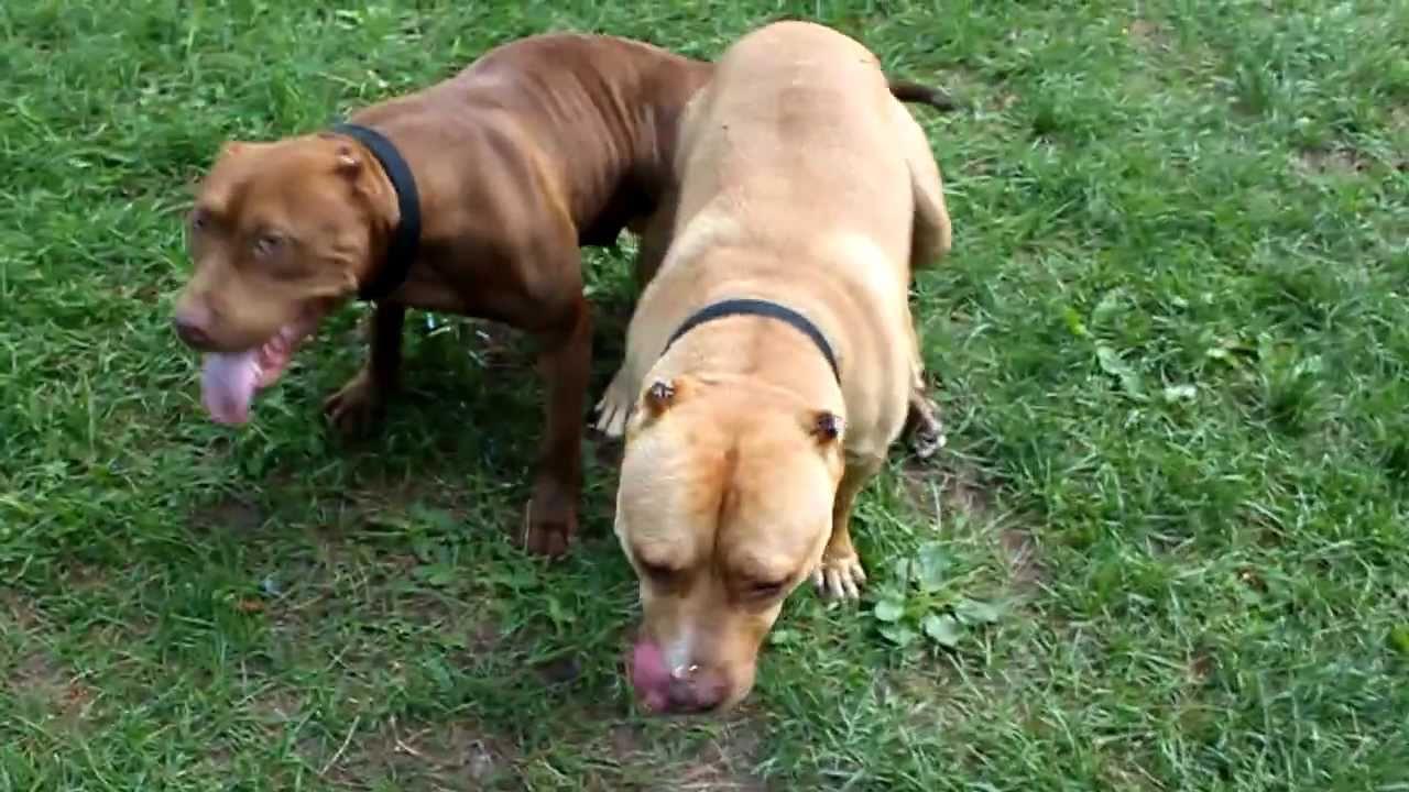 Pitbull Breeding Part 2 (HMONG PITBULL) - YouTube