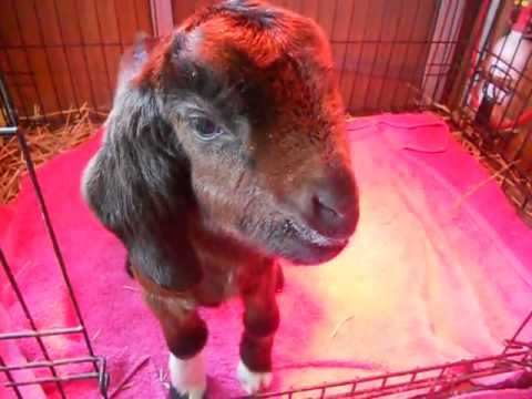 Ruby, The talking goat kid.