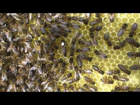 Keeping honey bees.  Finding the Queen Bee in our Hive