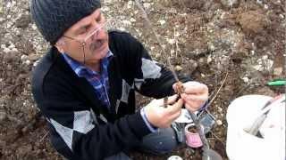 Kiraz Aşısı uygulama - Neşet Melek Bilmece Köyü / Samsun