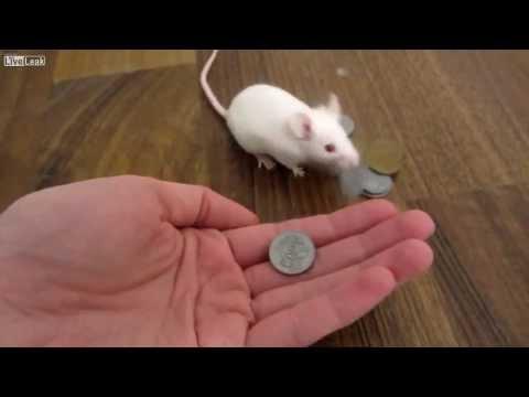 Funny amazing mouse training skills