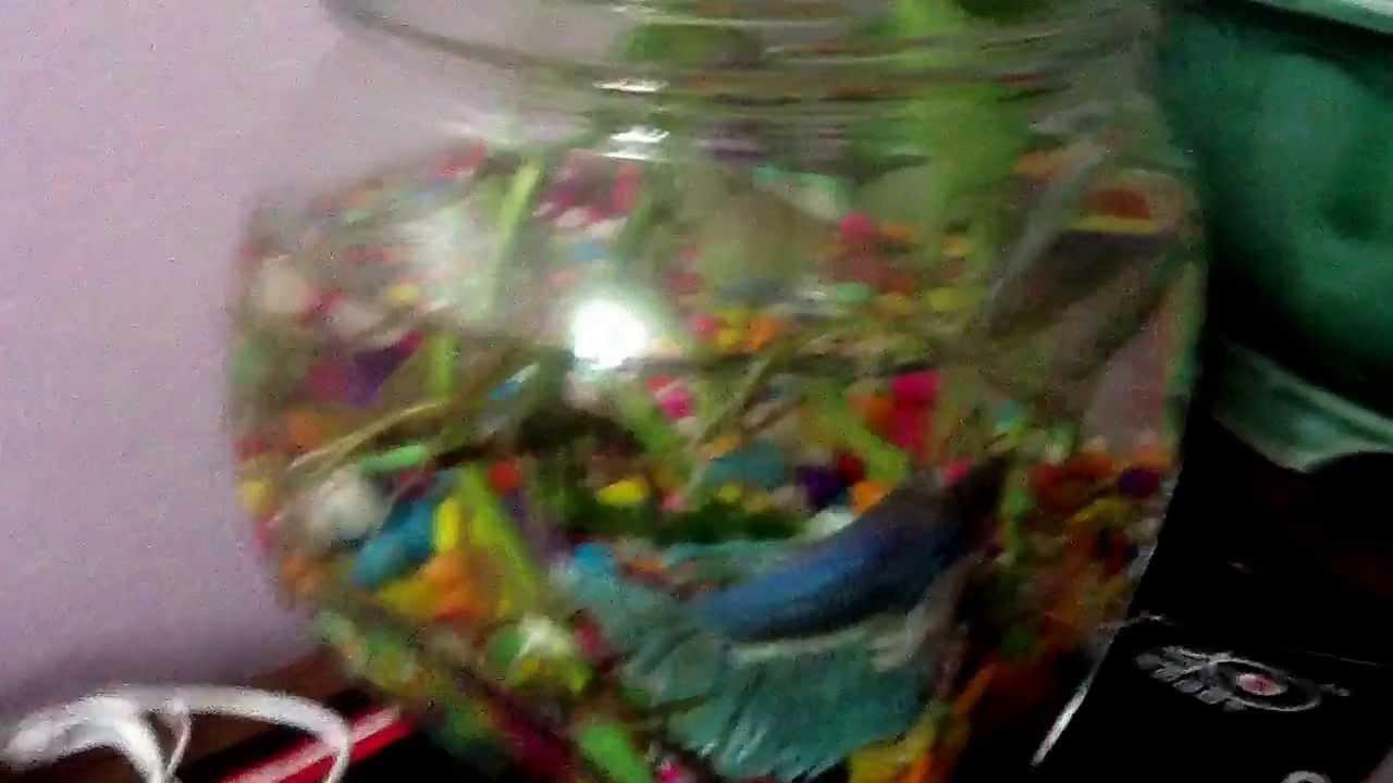 Rare betta fish youtube for Rare betta fish