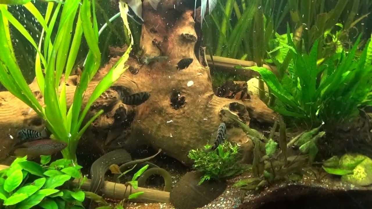 Aquarium eau douce youtube for Eau douce aquarium