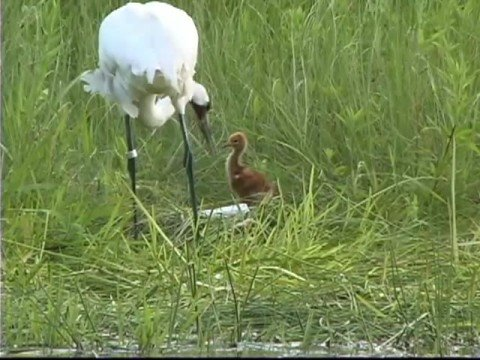 Whooping Crane Chick