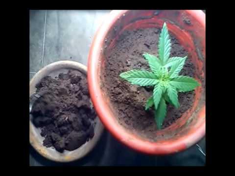 cultivo casero indoor - abono organico