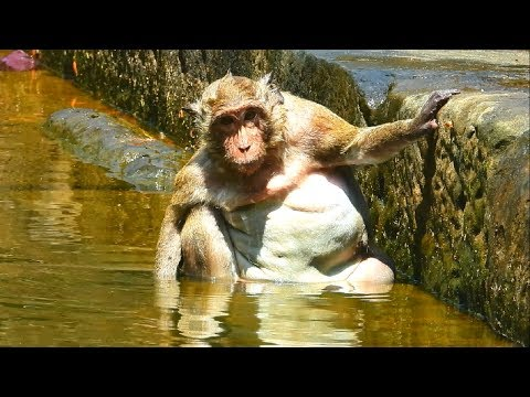 Monkeys have great day in swimming pool|funny monkey video 2019