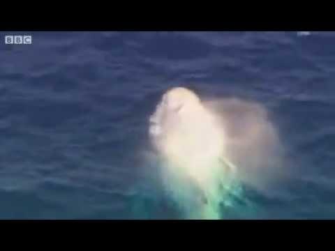 Raríssima baleia albina dá show se exibindo em praia da Austrália
