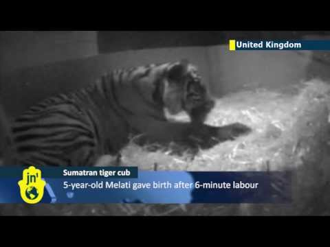 Hidden camera captures birth of Sumatran tiger cub
