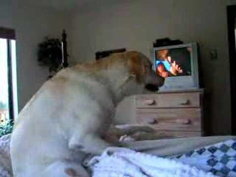 Labrador retriever female having an orgasm!!!
