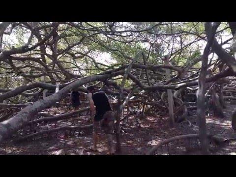 Cây gừa khổng lồ với cành và rễ chiếm diện tích 2740m2