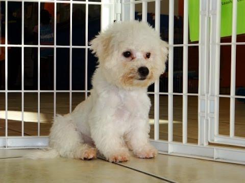 Bichon Frise, Puppies For Sale, In, Hampton, Virginia, West, VA ...
