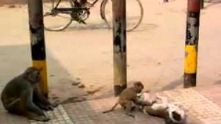 Dog and Monkey Fighting