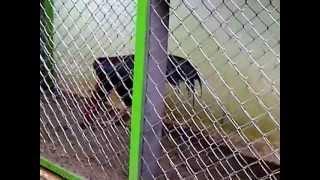Ayam Bangkok Berkualitas Dan Anak Thailand Berkualitas