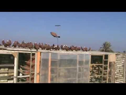 طيور ابو عصام ( حمر ) 2