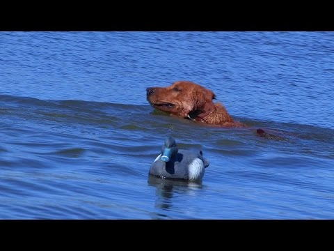 LABRADOR RETREIVER DOGS TRAINING FOR DUCK HUNTING